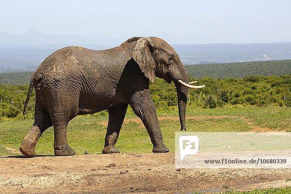 Afrikanischer Elefant  (Loxodonta africana)  Addo Elephant Nationalpark  Ostkap  Südafrika