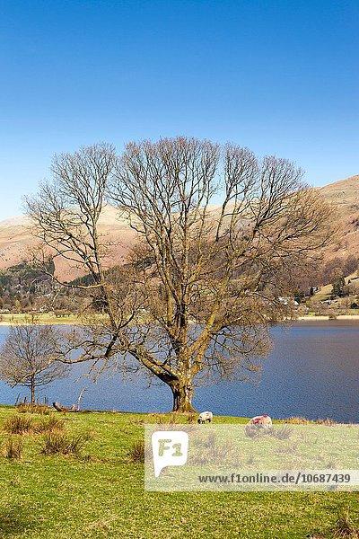 nebeneinander neben Seite an Seite Baum See Beton Cumbria England Grasmere Lake District