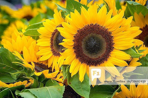Sunflowers for sale at a Farmers Market.