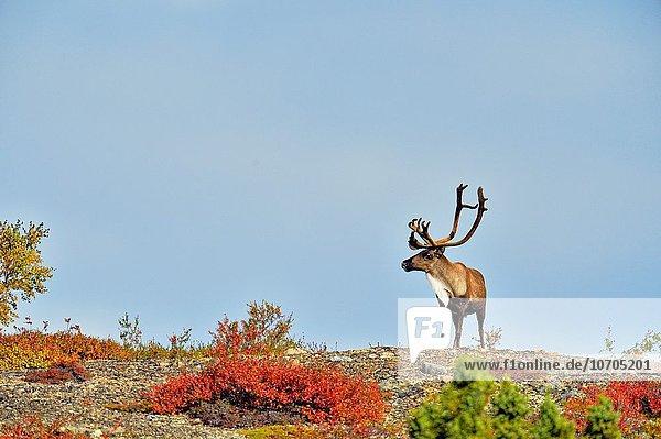 Bulle Stier Stiere Bullen leer Boden Fußboden Fußböden wandern Karibu Öde Kanada Nunavut Bulle,Stier,Stiere,Bullen,leer,Boden,Fußboden,Fußböden,wandern,Karibu,Öde,Kanada,Nunavut
