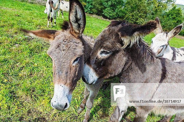 donkeys in a pasture.