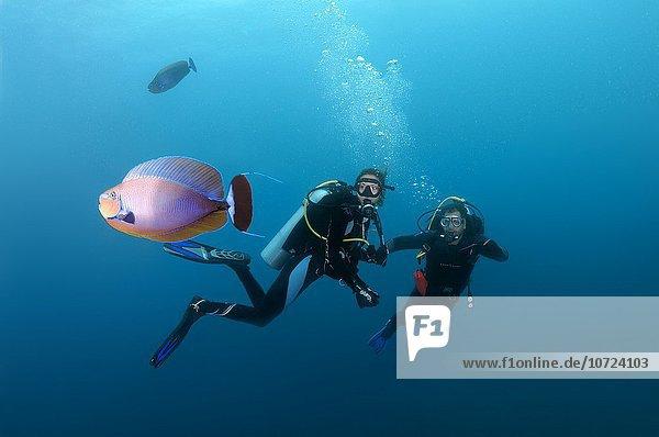 divers look at elongated unicornfish (Naso lopezi)   Indian Ocean  Maldives.
