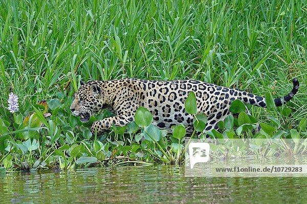 Wasser Raubkatze Jaguar Panthera onca Brasilien Pantanal Cuiaba-Fluss Mato Grosso