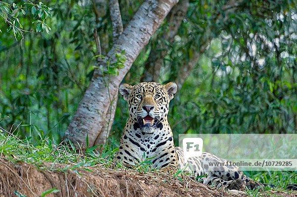 liegend liegen liegt liegendes liegender liegende daliegen Raubkatze Jaguar Panthera onca Fluss Bank Kreditinstitut Banken Brasilien Pantanal Cuiaba-Fluss Mato Grosso