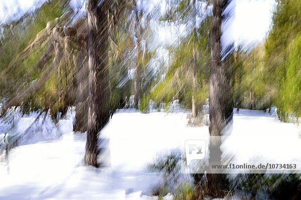 Aigues Tortes  forest in winter  movement of trees  Lerida  Catalonia  Spain