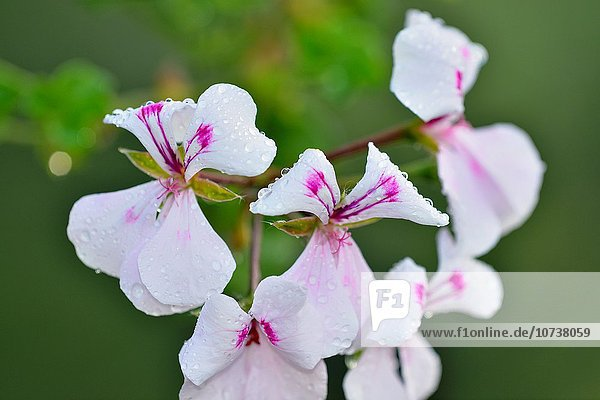 Storchschnäbel Blume Garten Regentropfen Greater Sudbury Kanada Ontario
