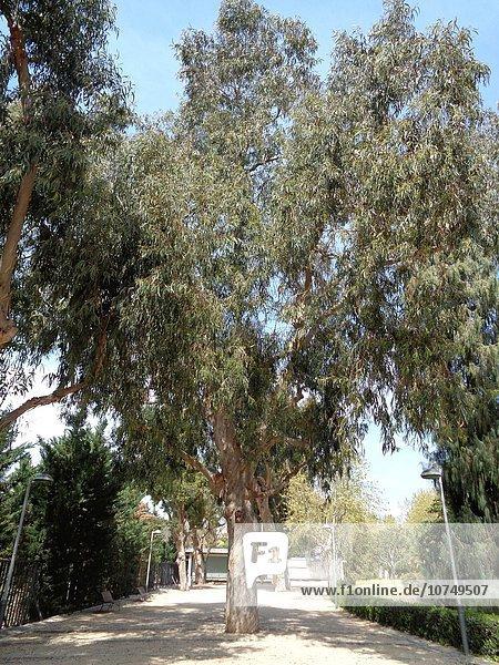 Eucalyptus globulus.
