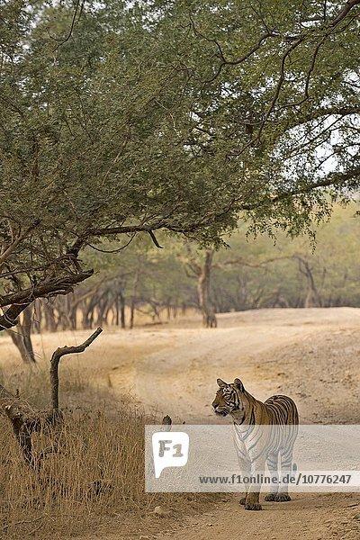 Wilder Bengal-Tiger oder Königstiger (Panthera tigris tigris) auf einem Waldweg im Trockenwald  Ranthambhore-Nationalpark  Rajasthan  Indien  Asien