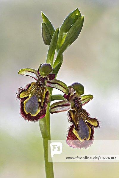 Spiegel-Ragwurz (Ophrys speculum)   Sardinien  Italien  Europa