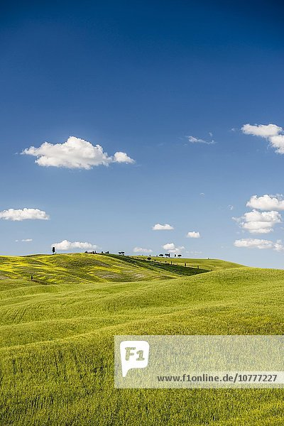 Getreidefelder im Frühling  bei San Quirico d?Orcia  Val d'Orcia  Toskana  Italien  Europa