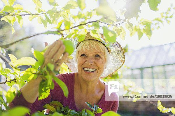 Lächelnde Seniorin beim Apfelpflücken im sonnigen Garten