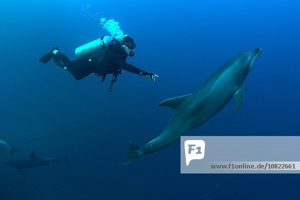 Underwater view of diver reaching for bottlenose dolphin  Revillagigedo Islands  Colima  Mexico