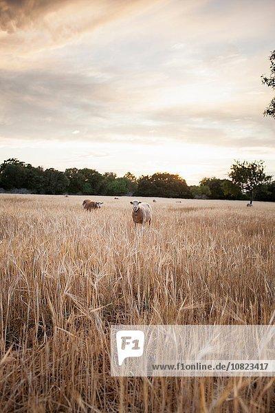 Schafweiden im Weizenfeld bei Sonnenuntergang  Mallorca  Spanien Schafweiden im Weizenfeld bei Sonnenuntergang, Mallorca, Spanien