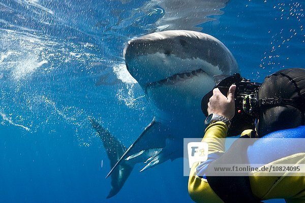 Great white shark (Carcharodon carcharias) making a close pass while photographer leans to take a picture  Guadalupe Island  Mexico