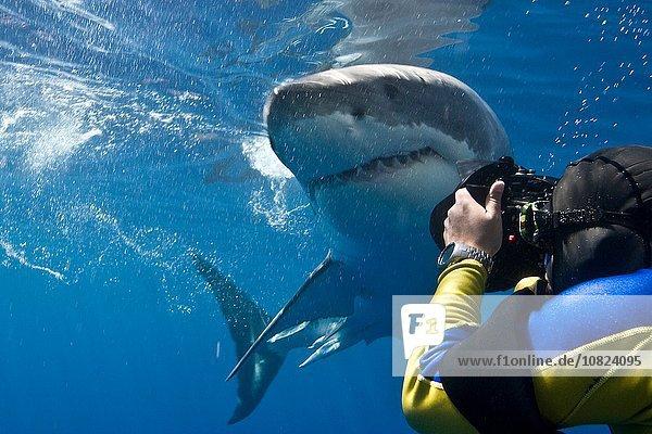 Großer Weißer Hai (Carcharodon carcharias) beim Fotografieren  Guadalupe Island  Mexiko