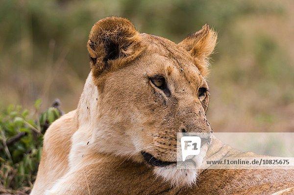 Lioness (Panthera leo)  Masai Mara  Kenya  Africa