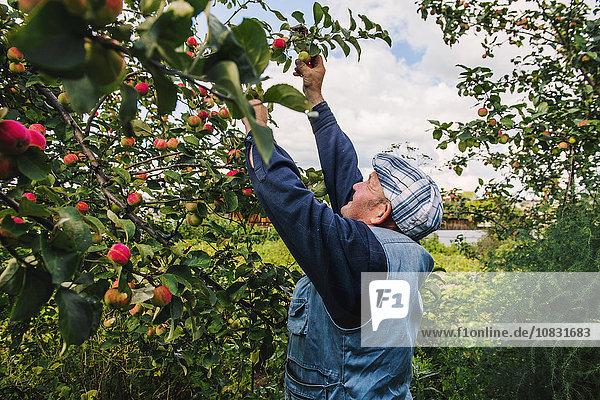 Europäer Baum Frucht Bauer aufheben