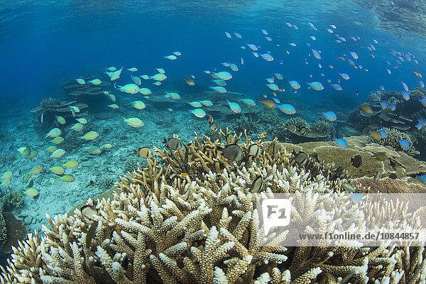 Reef fishes amongst profusion of hard plate at Pulau Setaih Island  Natuna Archipelago  Indonesia  Southeast Asia  Asia