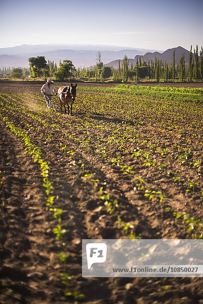 Pimiento farmer farming at sunrise in the Cachi Valley  Calchaqui Valleys  Salta Province  North Argentina  South America