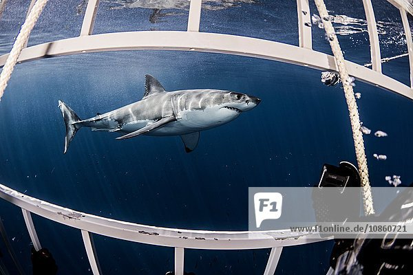 Underwater side view of great white shark from shark cage