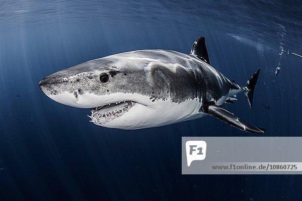 Nahaufnahme Unterwasser-Seitenansicht eines männlichen Weißen Haies