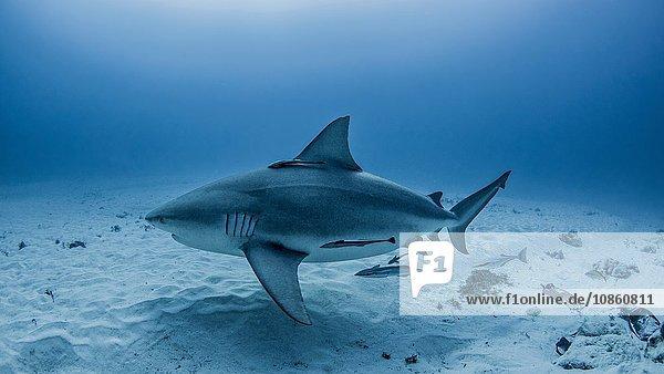 Stark trächtiger Bullenhai  Playa del Carmen  Mexiko