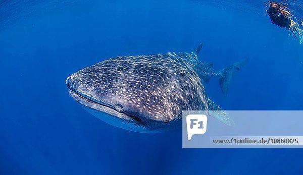 Whale sharks near Isla Mujeres  Mexico