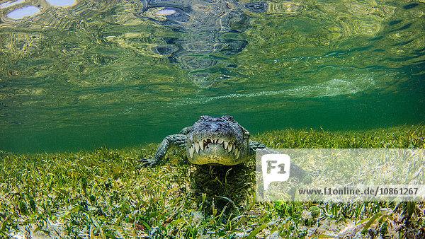 Unterwasser-Ansicht eines Krokodils auf einem Riff  Chinchorro Banks  Mexiko