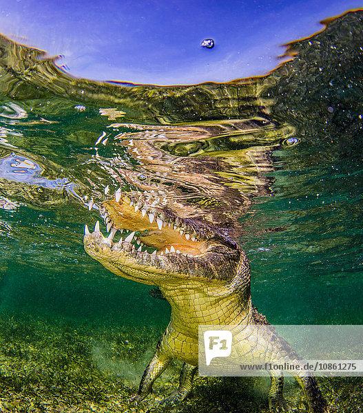 Unterwasserporträt eines Krokodils auf einem Riff  Chinchorro Banks  Mexiko