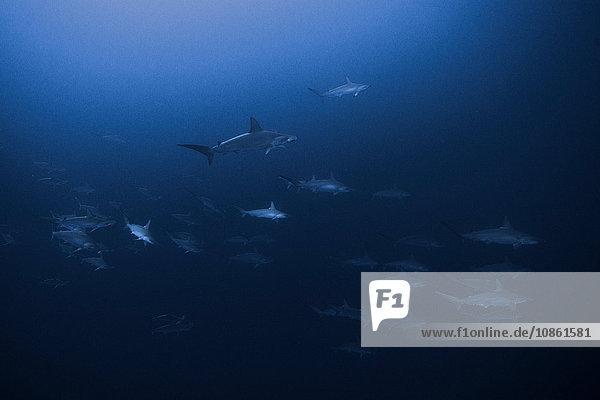 Jakobsmuschel-Hammerköpfe (Sphyrna Lewini) bilden große Schulen und schwimmen zusammen