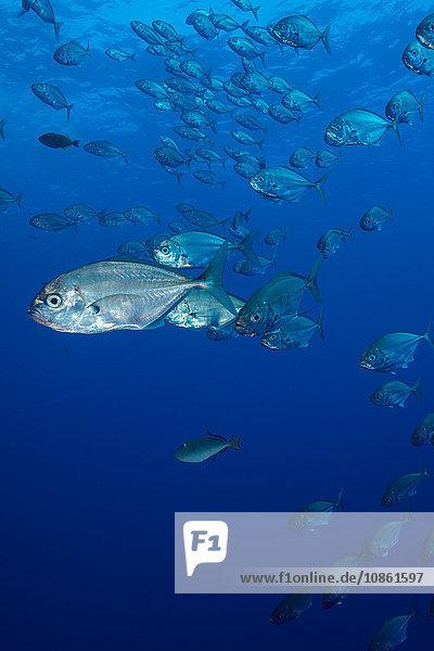Kleine silberne Fische sammeln sich in großen Schwärmen um Riffecken
