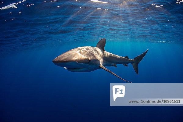 Neugieriger Seidenhai (Carcharhinus Falciformis) schwimmt nahe der Oberfläche