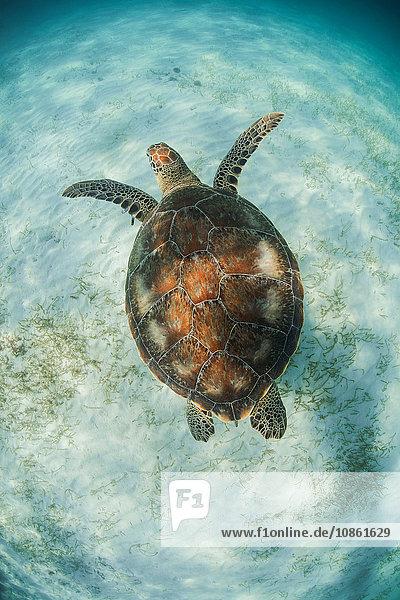 Grüne Schildkröte (Chelonia Mydas) sucht in den Untiefen der Bucht von Akumal  Mexiko  nach Futterplätzen für Seegras