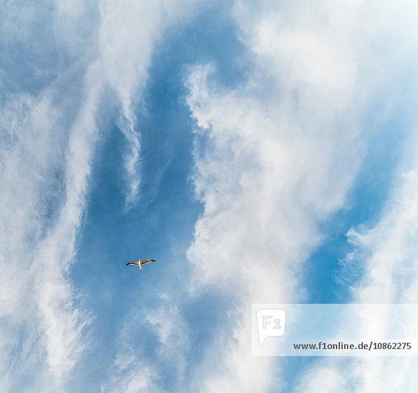 Tiefwinkelansicht eines Vogels  der am bewölkten blauen Himmel fliegt Tiefwinkelansicht eines Vogels, der am bewölkten blauen Himmel fliegt