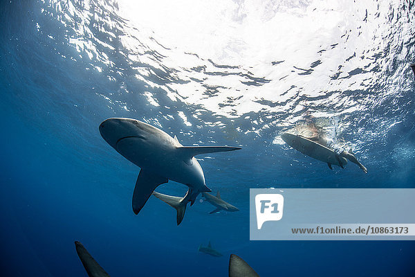 Low angle underwater view of surfer on surfboard with sharks  Colima  Mexico
