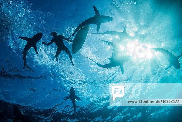 Niedrigwinkel-Unterwasseransicht eines Surfers mit Surfbrett mit Haien  Colima  Mexiko