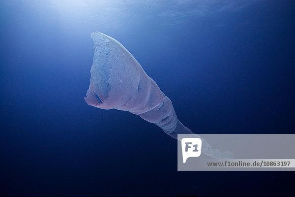 Unterwasseransicht der Siphonophora  Roca partida  revillagigedo  colima  mexiko