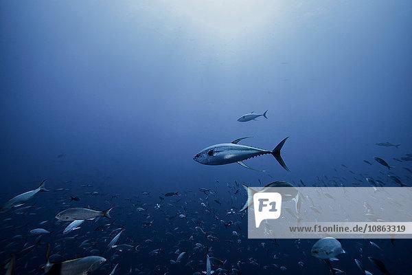 Thunfisch auf der Jagd nach Köderfischen  Socorro  Mexiko