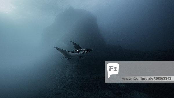 Riesenmantarochen im Ozean auf der Insel San Benedicto  Socorro  Mexiko