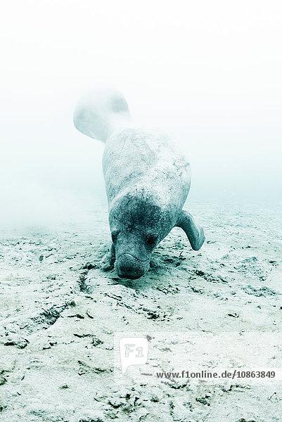 Westindische Seekuh (trichechus manatus) auf Nahrungssuche in der Nähe einer Unterwasser-Süsswasserquelle  Biosphärenreservat Sian Kaan  Quintana Roo  Mexiko