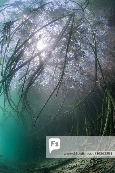 Unterwasseransicht des Mangrovenwaldes  Biosphärenreservat Sian Kaan  Quintana Roo  Mexiko