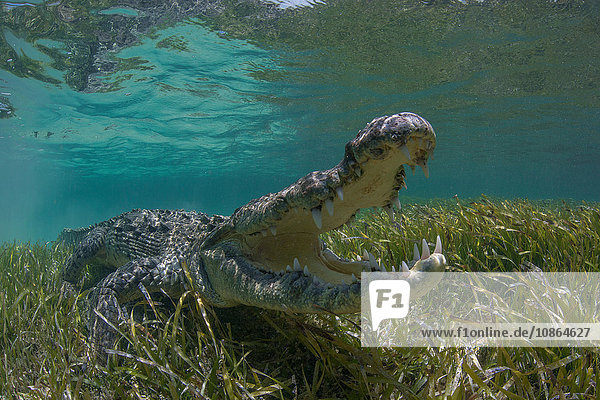 Unterwasseraufnahme eines amerikanischen Krokodils (Crodoylus acutus) im flachen Wasser des Biosphärenreservats Chinchorro Atoll  Quintana Roo  Mexiko