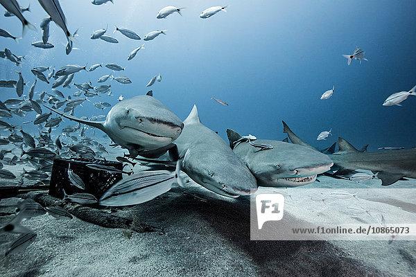 Zitronenhaie und Fischschwärme am Meeresboden