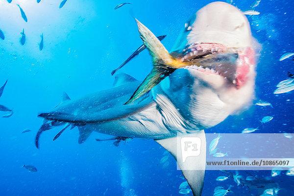 Zitronenhai frisst Thunfischschwanz