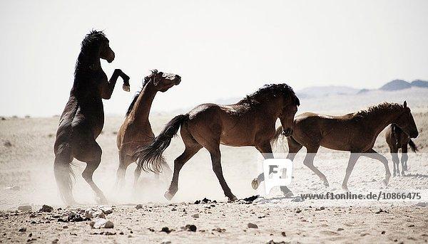 Tretende Pferde auf staubigem Feld
