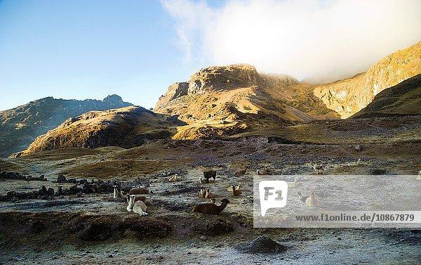Lamas auf dem Masl-Pass (4400 m) auf der Straße nach Lares  Peru