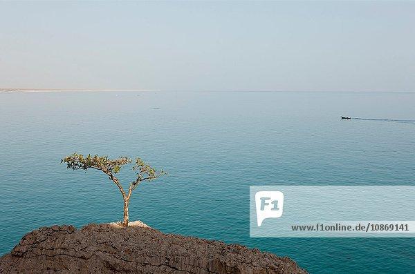A Frankincense Tree near Hadibu  Socotra  Yemen