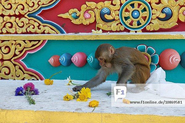 Affe stiehlt Blumen  Buddha-Park  Kathmandu  Nepal