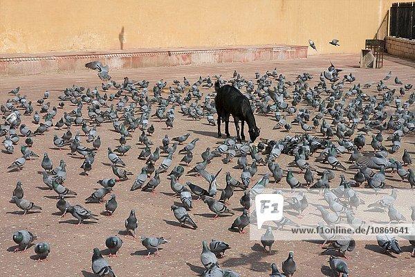 Ziege und Tauben in Amer Fort  Rajasthan  Indien
