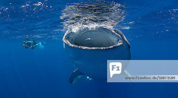 Walhai mit schwimmendem Taucher in der Nähe